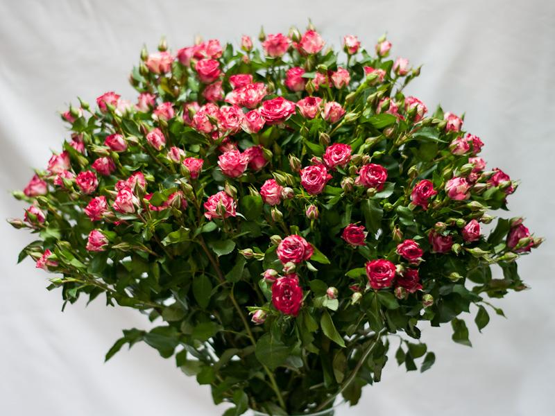 Роза кустовая розовая (мраморная)